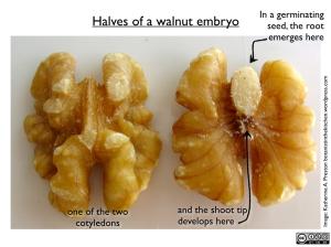WalnutHalves