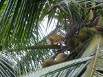 squirrel monkey in a coconut palm