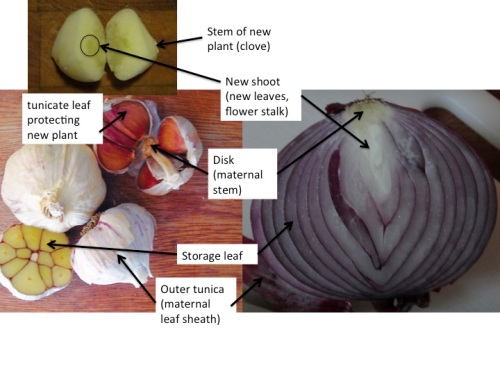structures in garlic and onion bulbs. Photo of garlic bulb from Southern Exposure