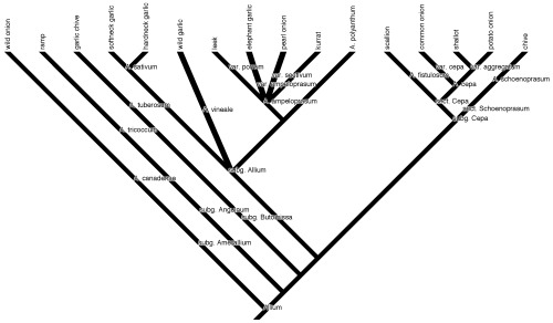 """Phylogeny of my edible alliums: genus Allium with subgenera (""""subg."""") and sections within subgenera (""""sect."""") labeled (data from Friesen et al. 2006 and Hirschegger et al. 2010)."""