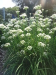 garlic chives blooming