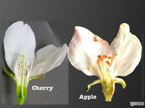 Cherry flowers have superior ovaries, visible within the floral cup.  Apple flowers' inferior ovaries are buried within a hypanthium and fused to it.