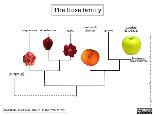 Phylogenetic relationships among common fruits from the rose family.