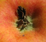 Sepals and a shriveled petal are visible at the flower end of an apple.