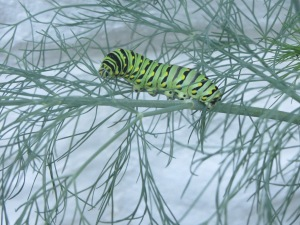 Black swallowtail larvae inducing terpenoid synthesis in dill. Swallowtail (Papilio spp.) caterpillars make their own stinky terpenes for defense, too, deployed via osmeteria.