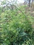 Parsley, flowering