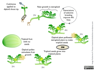 CLICK to enlarge. From top left, moving clockwise, the stages of creating a seedless watermelon. To make a tetraploid line, colchicine is applied to diploid seedlings. Resulting tetraploid growth is allowed to flower and produce seeds. Those seeds are planted and the best versions are selected for several generations to establish a strong tetraploid line. Every year, seed producers fertilize tetraploid plants with pollen from diploid plants to create triploid seeds. Triploid seeds are sold to growers as seedless varieties. These plants must be pollinated by a diploid plant in order to make the fruit we eat.