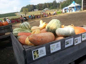 Large specimens of edible varieties of Cucurbita maxima and Cucurbita moschata, similar to the edible hubbard used in Savage's research