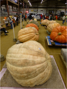 The 2014 Topsfield Fair giant pumpkin weigh-in, Topsfield, MA (photo by J. Savage)