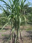 sugarcane plants are tall, even growing in Maryland, outside its usual tropical habitat