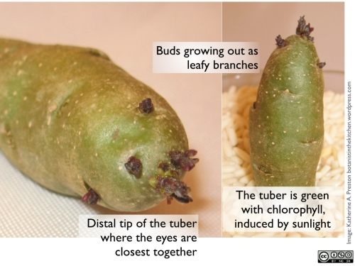 This potato was left in the sun for a couple of months. Don't eat green potatoes!