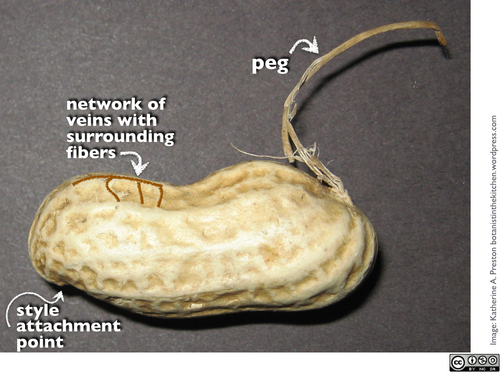 peanut shells There are 305 calories in 1 cup, in shell, edible yield of peanuts in shell (shell not eaten) get full nutrition facts and other common serving sizes of peanuts in shell (shell not eaten) including 1 peanut and 1 oz, in shell, edible yield.