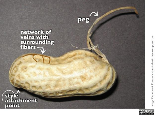FabaceaePeanutInShell