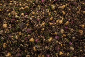 maca harvest in Peru, photo by Meredith Kohut for the New York Times