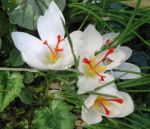 Crocus cartwrightianus, the wild ancestor of saffron, a white morph. Photo from Wikipedia.