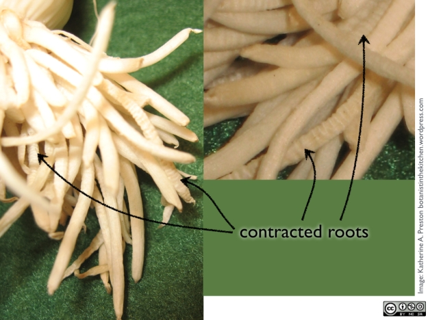 Amaryllidaceae: leek contractile roots