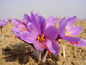 saffron crocus blooming in Kashmir, showing three red stigmas and yellow pollen-bearing stamens. Photo source here.