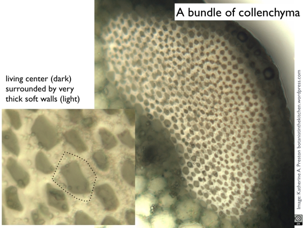 Apiaceae: celery collenchyma