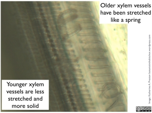 Apiaceae: celery xylem