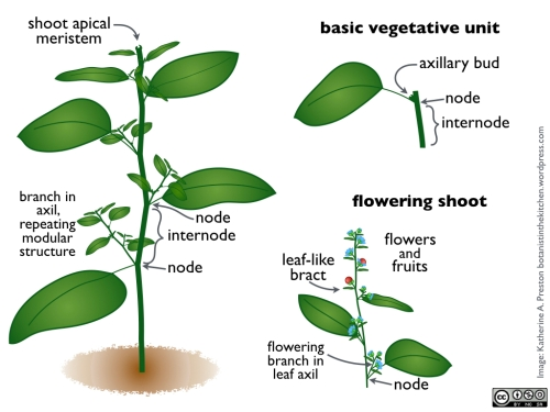 Basic flowering plant body plan