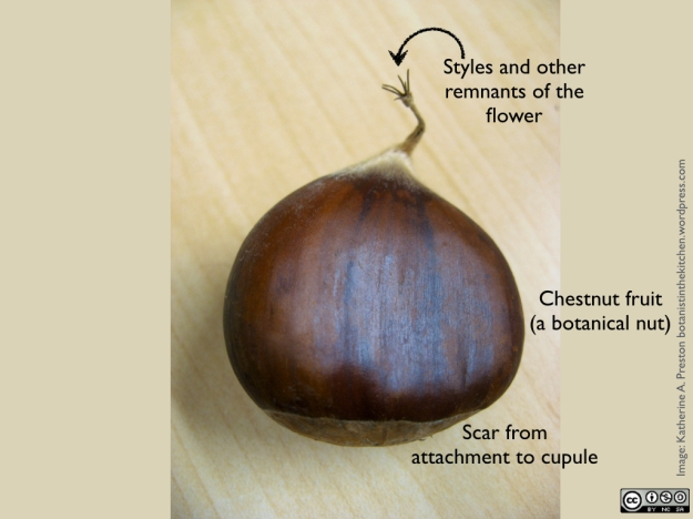 Fagaceae: Castanea sativa whole chestnut