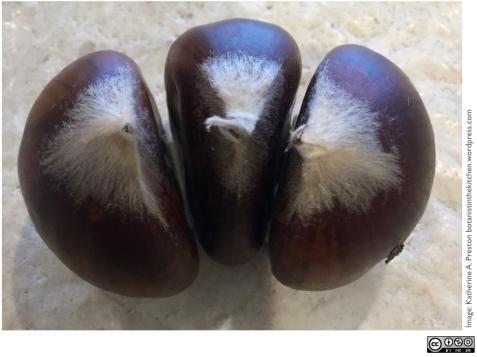 Fagaceae: Castanea sativa triplet