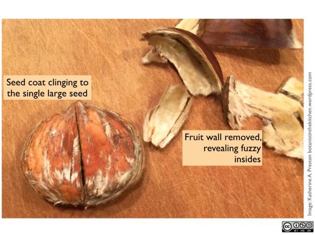 Fagaceae: Castanea sativa peeled